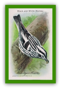 Black and white warbler.GIF