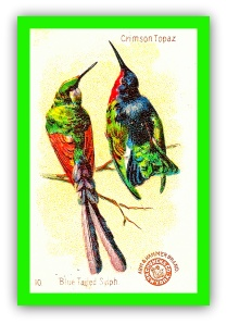 Blue tailed sylph and crimson topaz.GIF