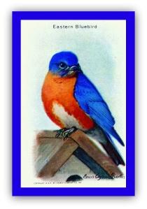 Eastern bluebird.GIF